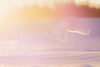 ''Lumière!'' harfang des neiges-Snowy owl (pascaleforest) Tags: oiseau bird animal owl hibou nature nikon wild wildlife québec canada winter hiver snow passion neige light lumière