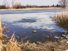 Walking (basiamarcisz) Tags: nature przyroda natura kaczki ptaki birds ducks water ice lód woda wiosna spring zima winter