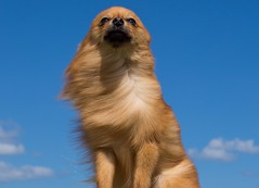 Boo the Pomeranian. (CWhatPhotos) Tags: cwhatphotos canon 7d eos camera photographs photograph pics pictures pic picture image images foto fotos photography artistic that have which contain portrat portrait boo pompom pomeranian dog canine pet brown sandy beige colored coloured hair windy day wind swept blue sky skies cute above looking up majestic animal