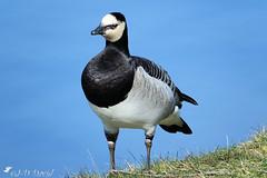 Je prend la pose pour toi Jeanda :-) (jean-daniel david) Tags: oiseau oiseaudeau bleu blanc noir noiretblanc lathièle yverdonlesbains closeup regard volatile bernache bernachenonnette