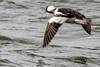 Aussi vite que le vent... (anniebevilacqua) Tags: oiseau bird canard duck waterbird oiseaudeau petitgarrot bufflehead bucephalaalbeola eau water oiseauduquébec