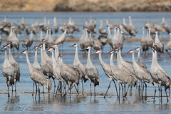Sandhill_Cranes-11 (Beverly Houwing) Tags: nebraska sandhillcranes plattriver migration spring birds conservation cranetrust sanctuary protected standing sandbar shallow group grey gray unitedstates midwest