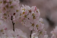 """During our walk with Jetje in our village.. . """"Blossom"""" (Fred / Canon 70D) Tags: ef100mmf28lmacroisusm canon70d canoneos canon eefde achterhoek spring spring2018"""