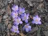 Első sáfrány / Перші шафрани / First crocus (ruta / рута) Tags: crocus flower spring urbannature
