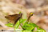 Northern Cloudywing - Hodges#3910 (Thorybes pylades) 20180401_4312.jpg (Abbott Nature Photography) Tags: neoptera skippers organismseukaryotes lepidopterabutterfliesmoths butterfly endopterygota pterygota animals hesperiidaeskippers hexapoda arthropodaarthropods invertebratainvertebrates insectainsects papilionoidea gordo alabama unitedstates us
