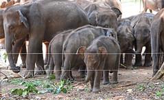 Orphans!!!!! (MWBee) Tags: elephants orphans orphanelephants udawalaweelephanttransithome udawalawe srilanka electricfence mwbee nikon d750