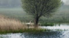 Au loin (vv.19533) Tags: grandeaigrette marais cotentin carentan douve brume oiseau arbre roseaux