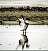 Pato aleteando (ibzsierra) Tags: ibia eivissa baleares canon 7d 150600g2 tamron ave bird oiseau pato duch canard salinas parque natural