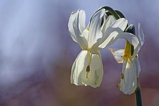 One of the world's rarest flower. Narcisse des Glénans (Narcissus triandrus capax). Saint Nicolas des Glénans, Finistère, France. 2018/04/14.