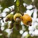 Five cashews
