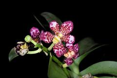 Sarcochilus Belmont Rose (Velvet x Cindy) (species orchids) Tags: sarcochilus belmont rose velvet x cindy