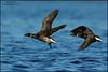 Brant (Branta bernicla) (Glenn Bartley - www.glennbartley.com) Tags: animal animalia animals aves avian bird birdwatching birds britishcolumbia glennbartley wildlife brantbrantabernicla