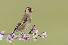 Goldfinch (Carduelis carduelis) (phil winter) Tags: goldfinch cardueliscarduelis perched ornamentalcherry