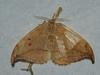 Drepana curvatula - Dusky hook-tip - Серпокрылка ольховая (Cossus) Tags: drepana drepanidae drepaninae серпокрылка 2010 пестово