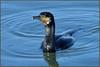 Cormorant (image 2 of 2) (Full Moon Images) Tags: rutland water wildlife trust nature reserve bird cormorant