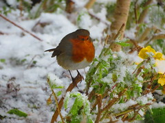 Robin in the snow again 18-03-2018 (gallftree008) Tags: robinredbreastinthesnowagainsonofthebeast secondsnowevent sunday18032018 swords codublin ireland stpatricksdayweekend bird birds county classic co dublin dub eire eireann effect irish irishwildlife leaf leaves march nature naturesbeauties naturescreations tree trees underthetrees wildlife amazingnature frozen frost fingal sonofthebeast sonofthebeastfromtheeast
