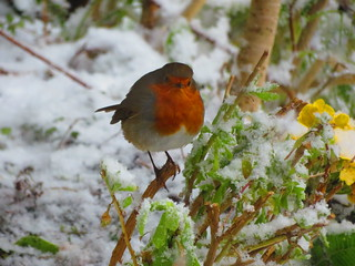 Robin in the snow again 18-03-2018