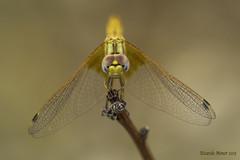 The colonizer (Ricardo Menor) Tags: odonatos odonata anisópteros libélulas dragonfly dragonflies airelibre iluminaciónnatural canon60d 2015 salinas2015 trithemiskirbyi vistafrontal