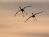 IMGPJ32871_Fk - Jackson County Indiana - Migratory Birds - Ewing Bottoms - Sandhill Cranes (David L. Black) Tags: jacksoncountyindiana birds sandhillcranes olympusomdem1mkii olympus300f4014xtc