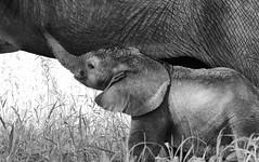 Looking For The Next Drink (AnyMotion) Tags: africanelephant afrikanischerelefant loxodontaafricana elephants elefanten calf kalb babyelephant trunk rüssel searchingformilk 2018 anymotion tarangirenationalpark tanzania tansania africa afrika travel reisen animal animals tiere nature natur wildlife 7d2 canoneos7dmarkii bw blackandwhite sw ngc npc