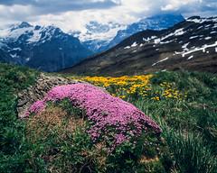 Spring time flowers (JaZ99wro) Tags: exif4film bokeh grindelwald flowers spring provia100f e6 opticfilm120 tetenal3bathkit switzerland f0344 pentax67ii szwajcaria swiss film analog