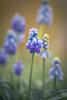 Hyacinth (hploeckl) Tags: hyacinth spring switzerland stgallen sunny nikon nature natural nikond750 natur bokeh botanicalgarden blossoms blue botanical
