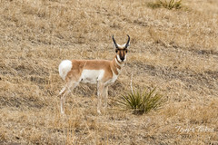 Pronghorn buck winking at me