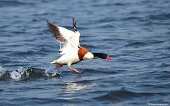 Common Shelduck (Tadorna tadorna) (Steve Arena) Tags: bungboraphet nakhonsawan thailandbirding2017 thailand 2017 nikon d750 bird birds birding commonshelduck duck waterfowl tadornatadorna