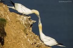 Reaffirming (Ross Forsyth - tigerfastimagery) Tags: scotland wildlife nature coast moray summer 2016 wild bird seabird gannet northerngannet cliffs monogamous mating pair couple trouphead rspb colony moraycoast