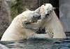 polarbear Blijdorp BB2A7251 (j.a.kok) Tags: polarbear bear beer ijsbeer ursusmaritimus predator animal blijdorp mammal zoogdier dier noordpool northpole arctic
