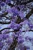 JACARANDA. (NIKONIANO) Tags: jacaranda semanasanta pascua árbol naturaleza