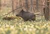 Dans les jonquilles (Eric Penet) Tags: animal sauvage mammifère halatte forêt france faune forest wildlife wild oise picardie nature mammal printemps avril sanglier boar suidé spring