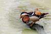 Pato mandarín (Aix galericulata. Linnaeus, 1758) (EcoFoco juanma.coria) Tags: macho humedal españa andalucía primavera patomandarínaixgalericulatalinnaeus1758 aves puebladelrío fauna naturaleza anseriformes lapuebladelrío es