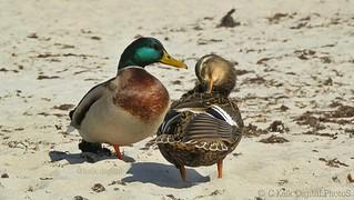 BeachDucks