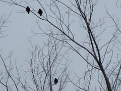 ** Les trois oiseaux ...** (Impatience_1 (peu...ou moins présente...)) Tags: oiseau bird branche branch arbre tree ciel sky m impatience saveearth alittlebeauty supershot coth coth5 abigfave sunrays5 silhouette