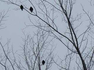 ** Les trois oiseaux ...**