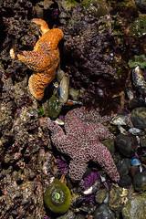 Ocean Life (LadyBMerritt) Tags: starfish urchins anemones shells ocean tidal pools yaquinahead oregon pacific