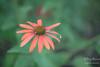 ça plane pour moi - (croqlum) Tags: bokeh proxiphotographie fleur macrophotographie rudbékia nature flower macrophotography macro