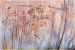 She Wore Spring (Karen McQuilkin) Tags: sheworespring art icm cherrytrees impression