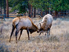 Action (jphenney) Tags: elk lumpyridgetrailhead mountians rockies estespark rockymountains colorado