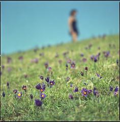Surprise! (steve-jack) Tags: hasselblad 501cm 150mm fuji reala 100 expired film 6x6 120 medium format spring sprung heath hertfordshire herts wild flower pasque pasqueflower