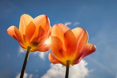 Twins in the sun (FocusPocus Photography) Tags: tulpen tulips blumen flowers frühling spring blauerhimmel bluesky orange two zwei zwillinge twins