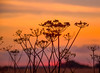 Maybe (Lindsey1611) Tags: sunrise summer early morning dawn cowparsley nature umbelliferwednesday umbel august seedheads sky