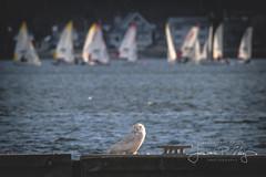 Snowy Owl (RIBirdHunter) Tags: snowyowl rhodeisland water sailboats
