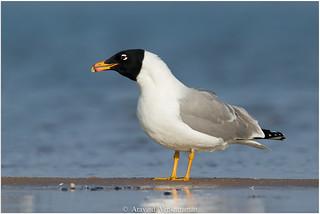 Palla's Gull