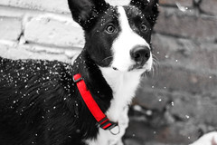Snow Dog (nafenic) Tags: canon canon60d 50mm18 yongnuo niftyfifty dogs pets animals snow weather prime