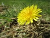 Happy first day of Spring (JulieK (thanks for 6 million views)) Tags: canonixus170 texture dandelion 100flowers2018 2018onephotoeachday garden spring macro flora ireland irish wexford htt texturaltuesday lowpov lawn