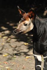 Okapia johnstoni - Okapi (Going to the Zoo with Trebaruna) Tags: 25082011 2011 netherlands rotterdam rotterdamzoo diergaardeblijdorp diergaarderotterdam diergaarde animal zooanimal