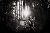 hide and seek (birdcloud1) Tags: forest equinox light lightanddarkness balance trees blackwhite monochrome canoneos80d eos80d canon1855mmlens 1855mmlens amandakeoghphotography amandakeogh birdcloud1 niksilverefex wood nature