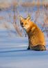 Foxy stare (Sammyboy77) Tags: renardroux redfox vulpesvulpes sammyboy77 snow